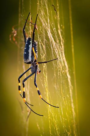 Spider in Mala Mala