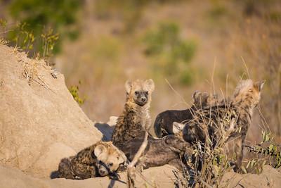 A hyena nursery