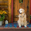Golden retriever on front porch with American Flag and flowers