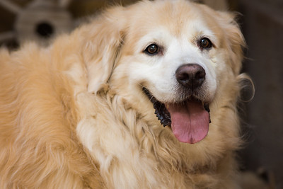 Golden_Retriever_Smile