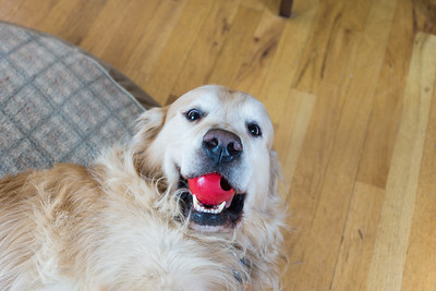 Playful golden retriever with red ball in its mouth.