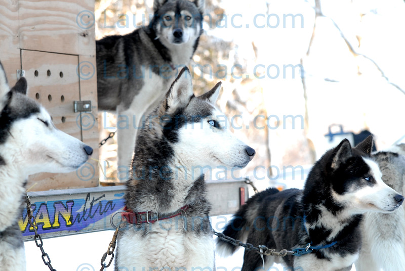 Husky team members of the White family from Vermont size up the competition as they await their race. The young Jackson stands above Tonto (left), Max and Joey.