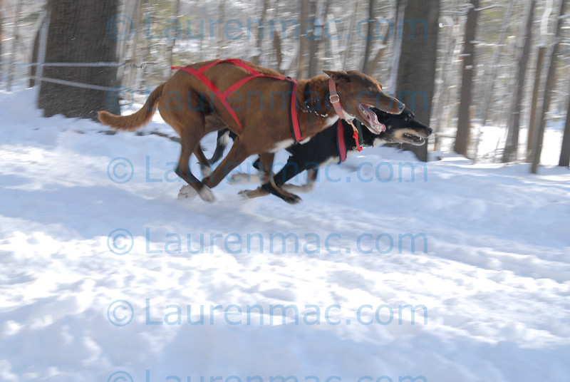 Keith Bryar's lead dogs take flight in the eight mile, Eight Dog race. It is estimated that the dogs run about 20 mph at this point of the race and peak at approximately 30 mph.