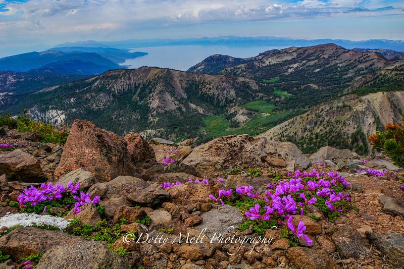 Mt. Rose Summit Wildflowers