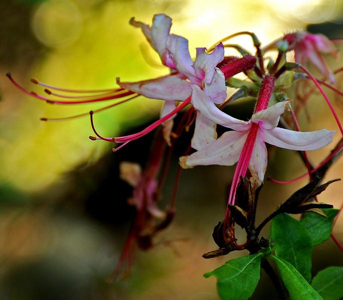 Pinxterbloom azalea<br /> Rhododendron periclymenoides<br /> Wissahixon<br /> Philadelphia<br /> 7 May 2010