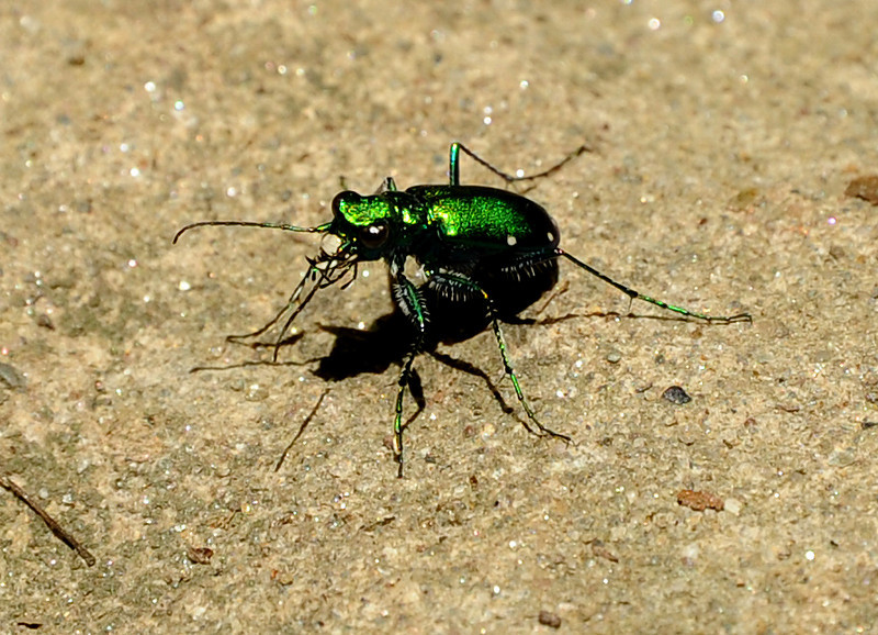 (Six-spotted) emerald tiger-beetle<br /> Wissahickon<br /> Philadelphia<br /> 7 May 2010