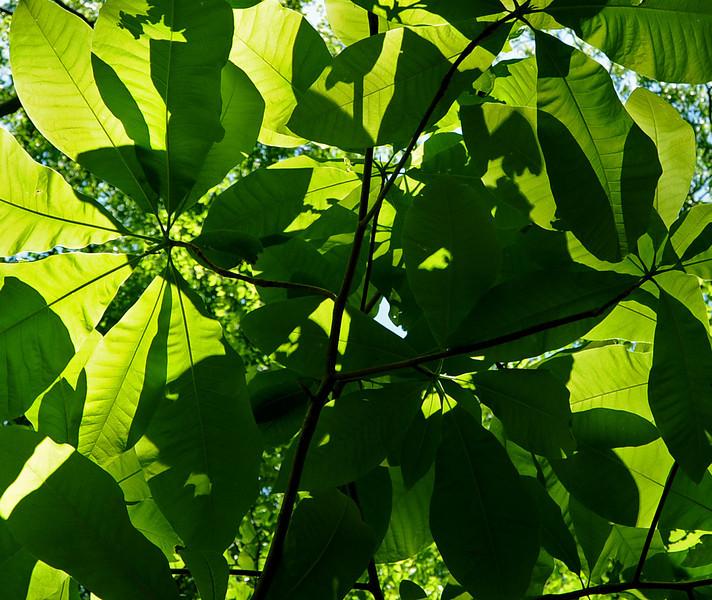 Pyramid magnolia<br /> Magnolia pyramidata<br /> Wissahickon<br /> Philadelphia<br /> 7 May 2010