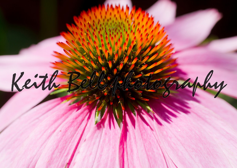 Cone flower macro.