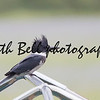 Day 32 of Project 365.  Belted Kingfisher.