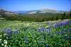 Lupines overlooking Caples Lake in Meadow before Round Top Mtn