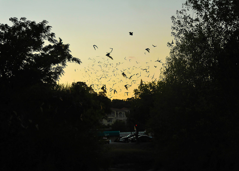 Mexican Free-tailed Bats Departing the West 9th Street Bridge