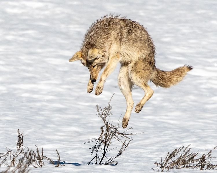 Coyote Mousing in the Snow
