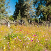 Flora - Wildflowers 2015-8466