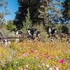 Flora - Wildflowers 2015-5002