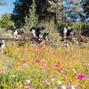 Flora - Wildflowers 2015-5017