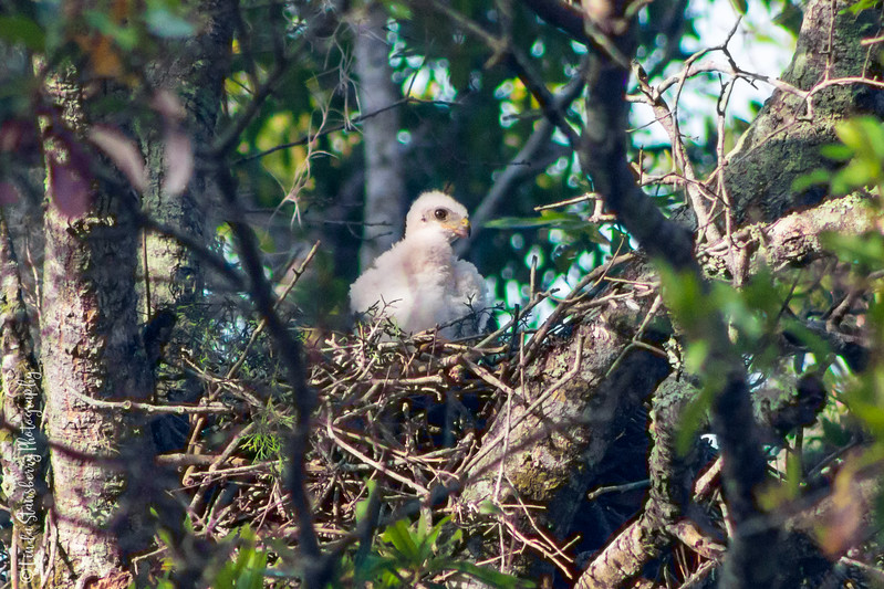 008-Hawk BIrth_6-24-17