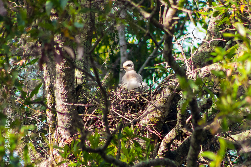 010-Hawk BIrth_6-24-17