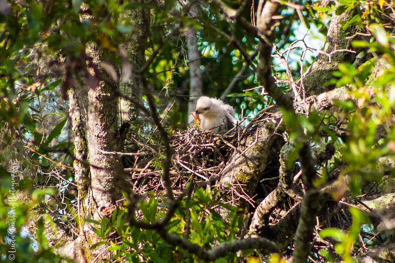 011-Hawk BIrth_6-24-17