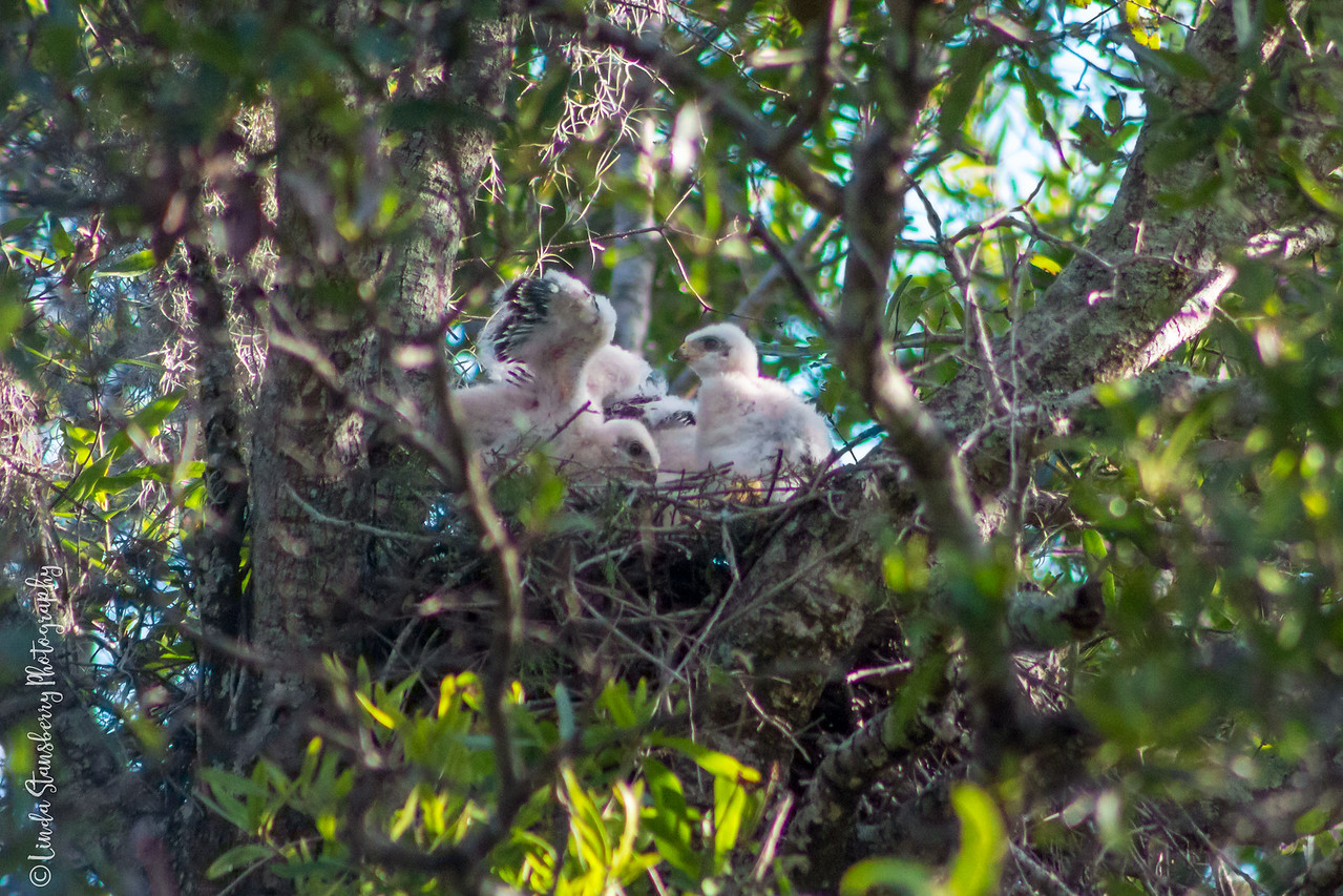 008-Hawk_Birth_6-25-17