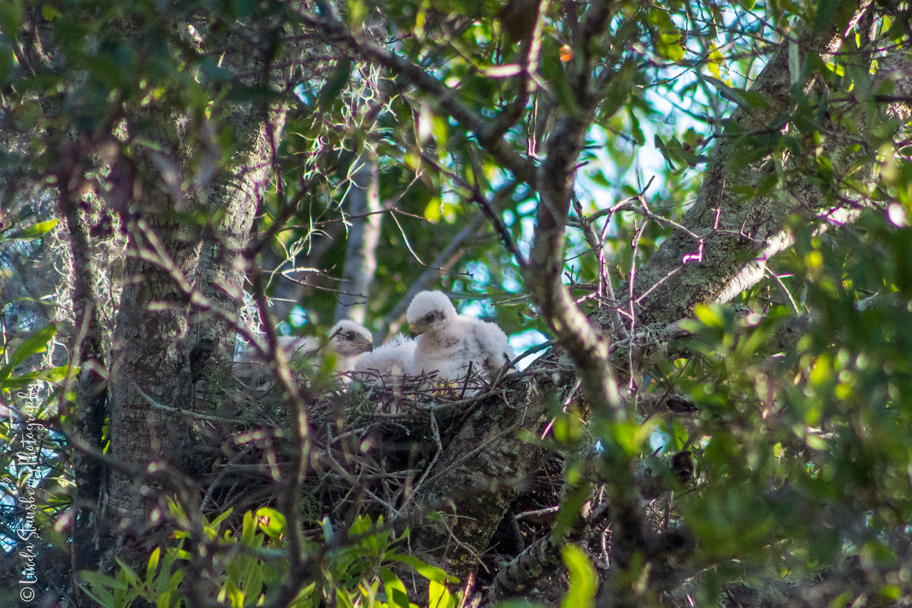 007-Hawk_Birth_6-25-17