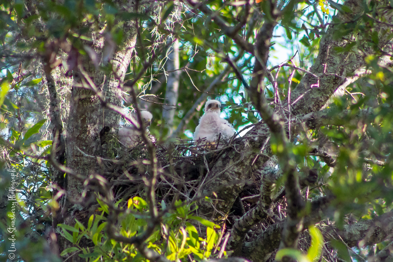 014-Hawk_Birth_6-25-17