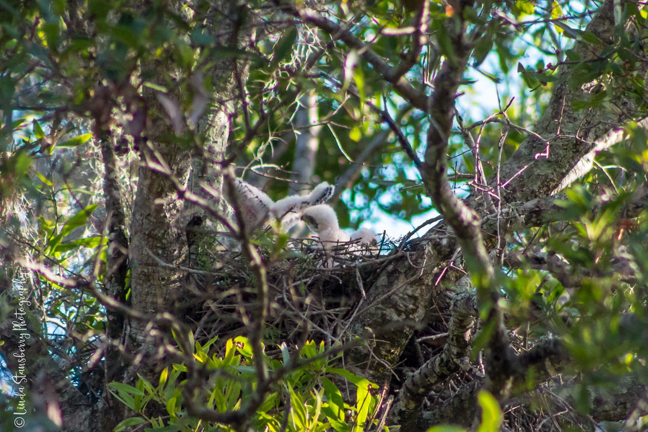 005-Hawk_Birth_6-25-17