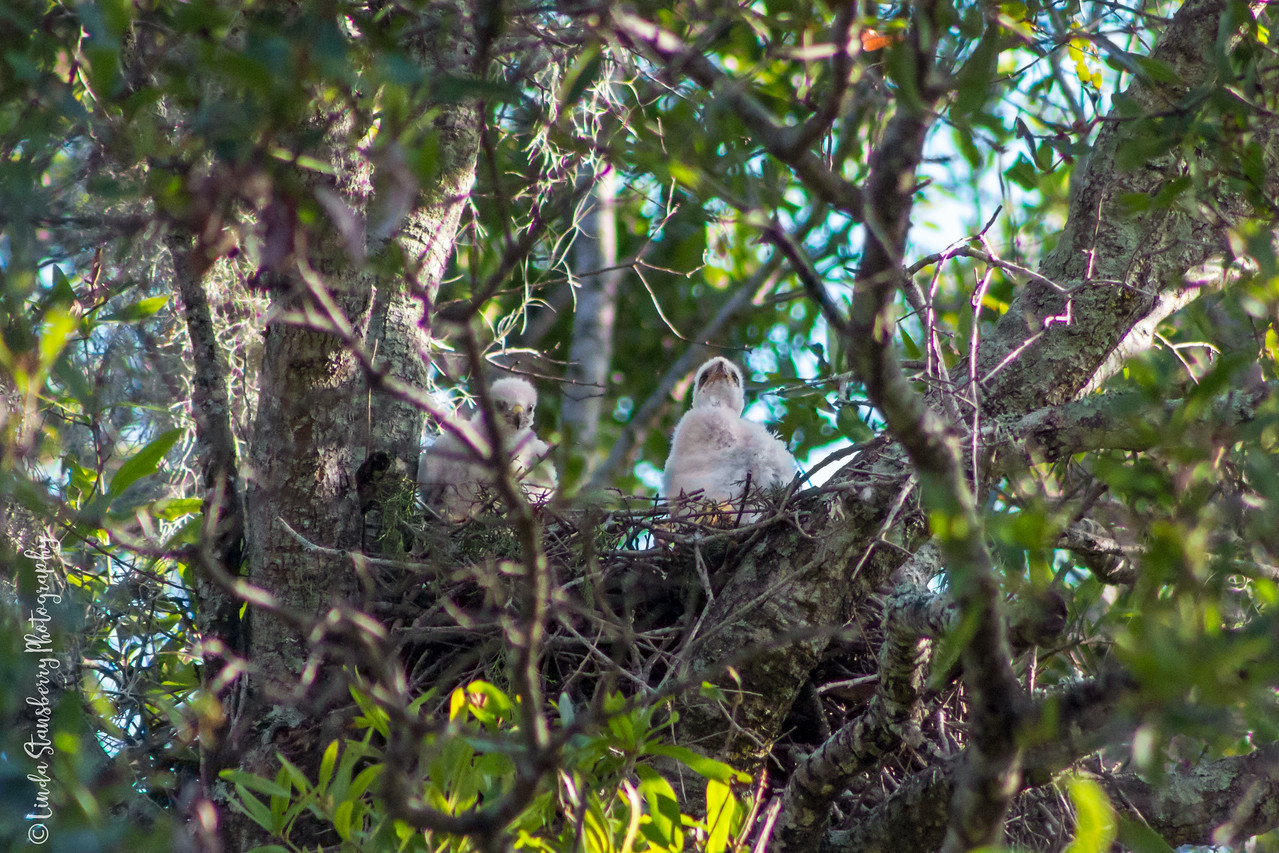 013-Hawk_Birth_6-25-17