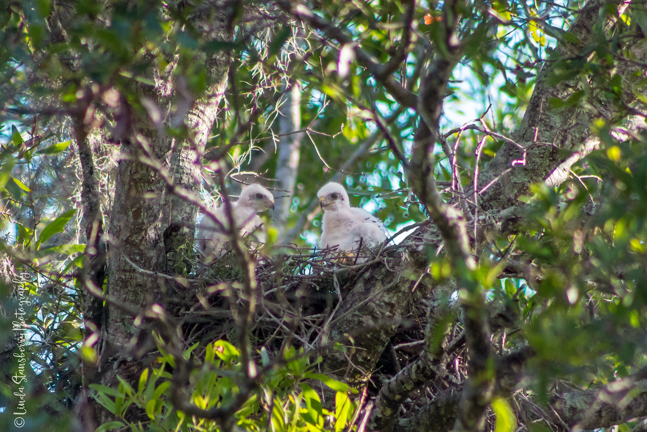 011-Hawk_Birth_6-25-17