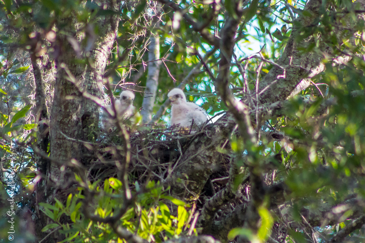 010-Hawk_Birth_6-25-17