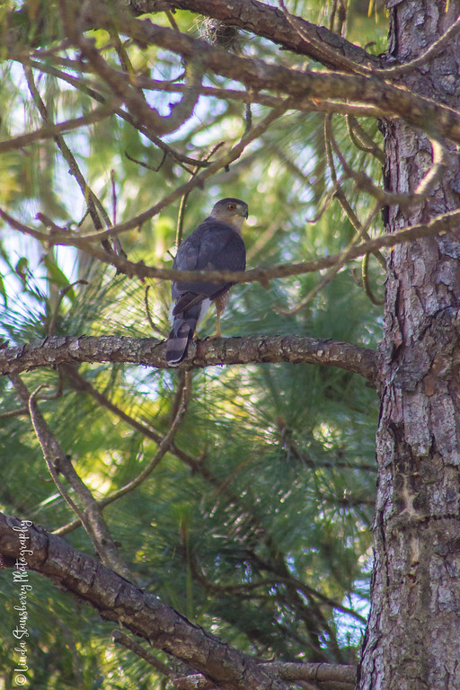 Male Cooper's Hawk after nest duty
