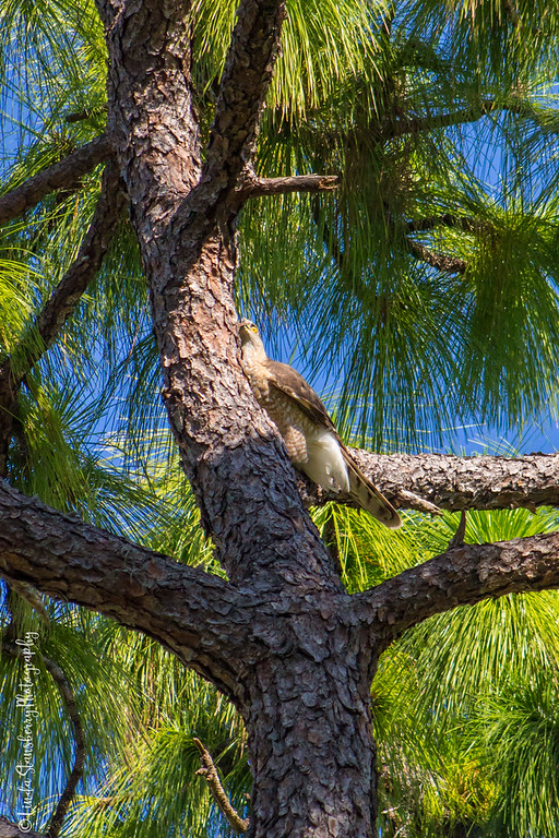 the female is picking off a piece of pine tree bark