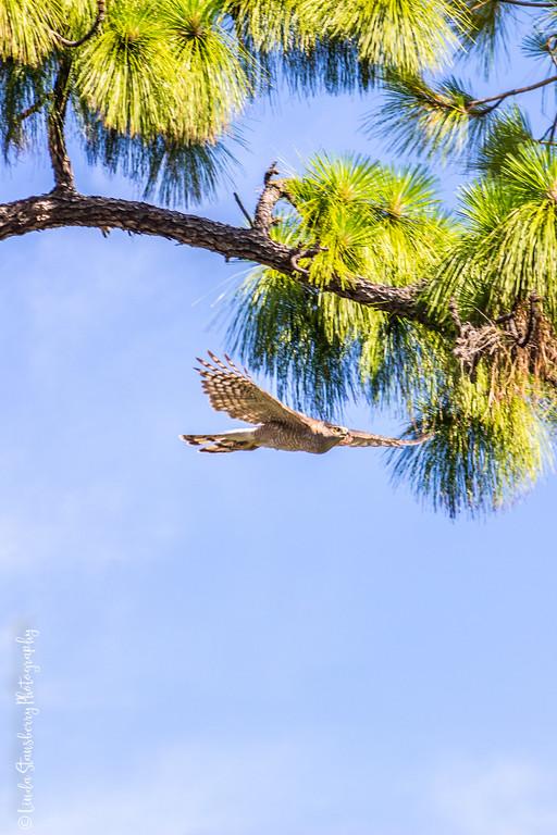 Bark still in beak, taking it back to the nest for some reason.