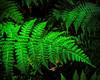 Cool Ferns