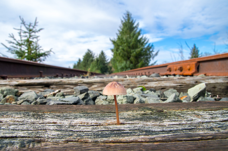 Mushroom sprouting through the train tracks in Bay City, Oregon.