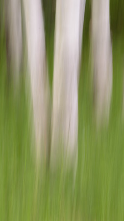 Birch Trees and Grass