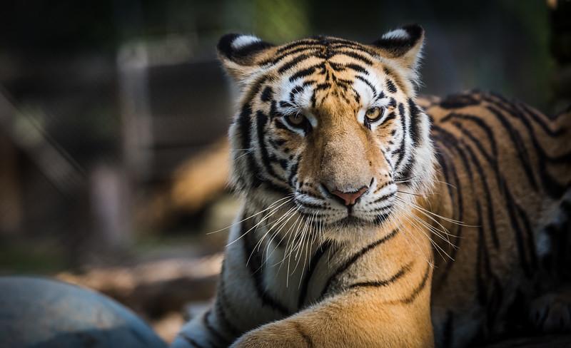 tiger-world-5041
