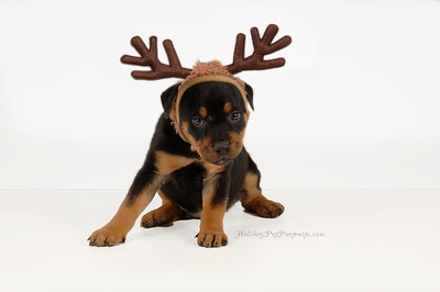 Puppy wearing antlers for Christmas
