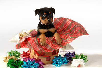 Puppy jumping out of gift box