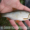 Typical size roach caught at Longham, Dorset Stour shoot, 161009. © 2009 Brian Gay.