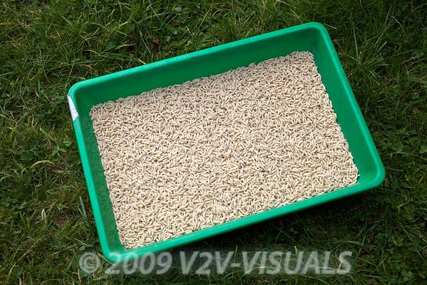 A gallon of white maggots - perfect chub grub! Longham, Dorset Stour shoot, 161009. © 2009 Brian Gay.
