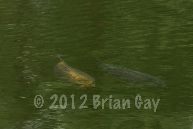 Cruising carp just under the surface. The Milemead Specimen lake carp really do show themselves during the day working open water patrol routes but the regulars reveal they are hard to tempt even with zig rigs. That said it's always to encouraging to see quality fish in the swim. © 2012 Brian Gay