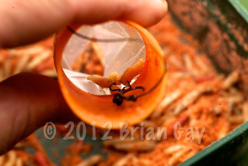 Dropping baited hook into the PVA bag. © 2012 Brian Gay