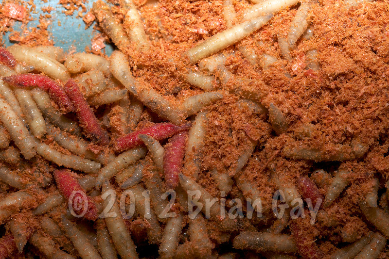 Krill powder and maggots © 2012 Brian Gay
