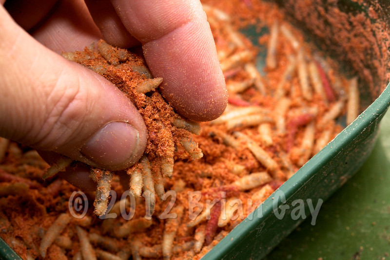 Working the Krill powder through the maggots © 2012 Brian Gay