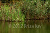The Norfolk reed lined bay area offers fish a great sanctuary. This is between pegs 1 and 2. © 2012 Brian Gay
