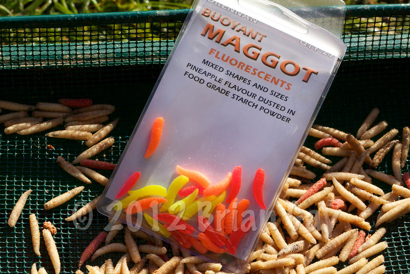 Drennan Buoyant Maggot Flourescents in packet on a  maggot sieve with dead maggots on the sieve. © 2012 Brian Gay