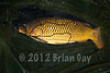 A 13 lb common carp caught on a maggot clip rig from the hot spot just as the light was fading. © 2012 Brian Gay