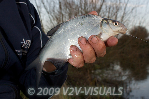 This skimmer fell to the Lollipop rig and double red maggot. River Kenn session 201109. © 2009 Brian Gay