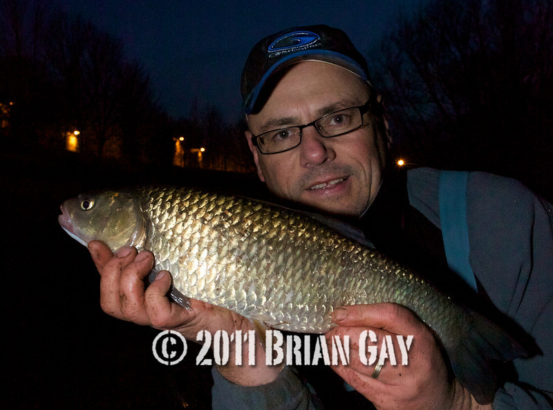This one weighed in at 3 lb 5 oz. These River Tone chub are superb fish in excellent condition with good bags likely from many swims in the winter months. © 2011 Brian Gay