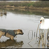 Male Border terrier wearing wax cotton coat standing in a river staring at a swan swimming towards it.